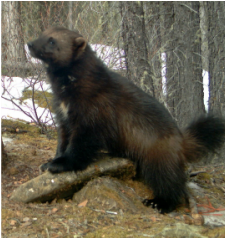 Alberta Wolverine Working Group